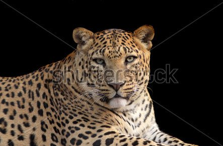 A Leopard Portrait Isolated Tattoo On A Black Background