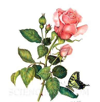 Pink Rose Vine And Butterly Tattoos Design