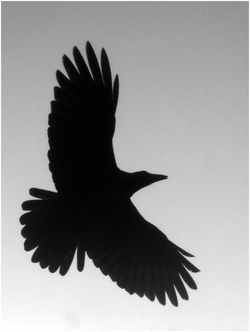 Flying Black Crow Tattoo Design (2)