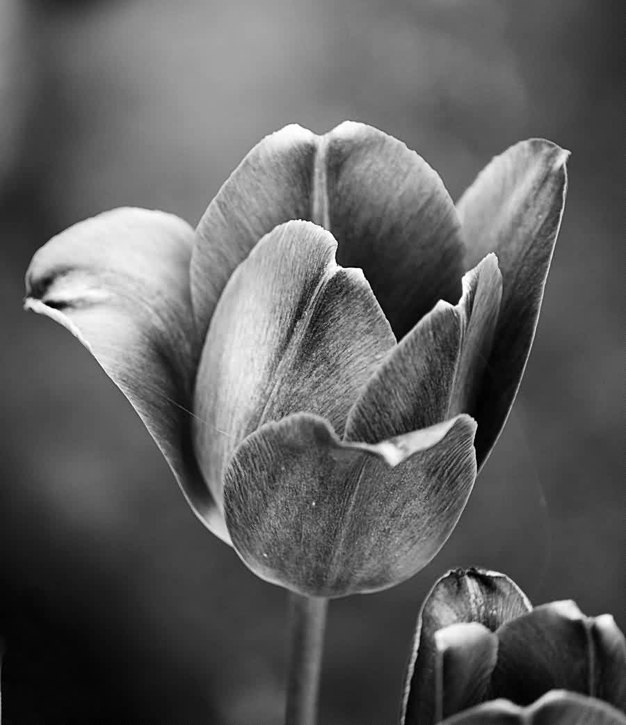 Black And White Tulip Tattoo Design