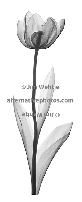 Cup Shaped Tulip Tattoo Sample