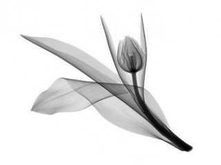 Grey Tulip Flower Tattoo Model
