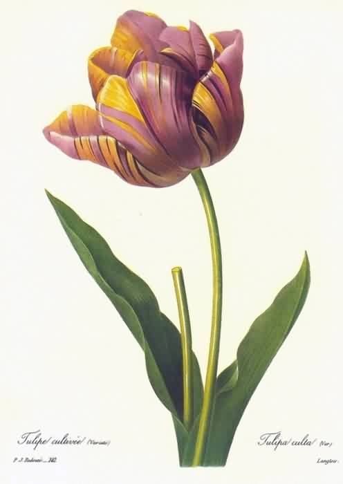 New Tulip Flower Tattoo Flash