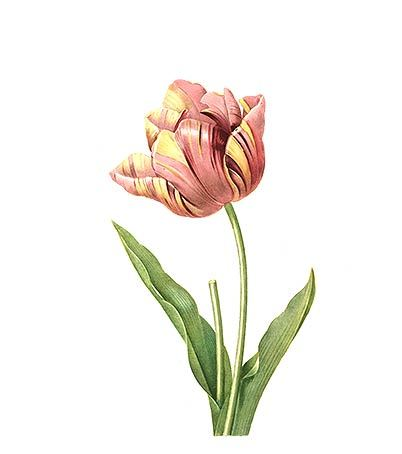 New Tulip Tattoo Print
